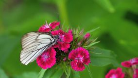 Black Veined White butterfly. Aporia crataegi, Black Veined White butterfly in wild. White butterflies on Carnation flower stock video footage