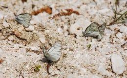 Aporia Crataegi Butterflies Royalty Free Stock Images