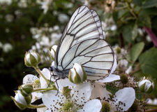 Aporia Crataegi Butterfly on a flower blackberry. White butterfly with membranous wings sits on a white flower blackberry Stock Image