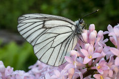 Aporia Crataegi butterfly on a flower lilac. White butterfly with membranous wings sits on a light pink flower lilac Royalty Free Stock Images