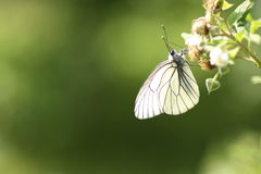 Aporia Crataegi on raspberry Stock Photography