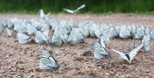 Aporia crataegi swarm Royalty Free Stock Image