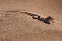 aporosaura蜥蜴沙子 免版税库存照片