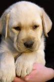 aporter labradora szczeniaka zdjęcia stock