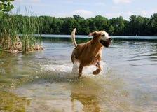 aporteru psi złoty jeziorny bieg Fotografia Royalty Free
