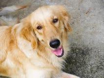 Aporteru szczęśliwy Złoty pies Obraz Royalty Free