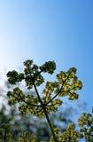 Apos, полевой цветок Калифорнии Стоковые Изображения