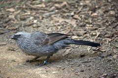 Apostile ptak także znać jako popielata bluza, wszawa dźwigarka lub cwa ptak, obrazy royalty free