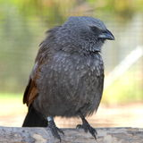 Apostle Bird with attitude Royalty Free Stock Photography