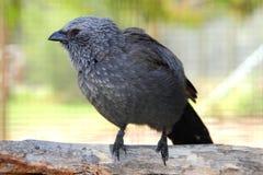 Apostle Bird with attitude Royalty Free Stock Image