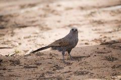 Apostle bird Royalty Free Stock Photography