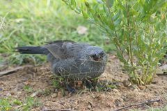 Apostle Bird Hunting Prey. The Apostlebird is a medium-sized dark grey bird with a short strong bill, brown wings and black tail. It is normally seen in groups Stock Photo