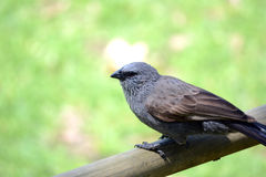 Apostlebird Stock Photos