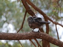 Apostlebird  or grey jumper in Australia Royalty Free Stock Photos