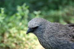 Apostlebird (Struthidea Cinerea) Stock Photo