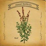 Apothicaire naturel Basil Plant illustration de vecteur
