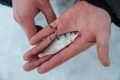 Appât vivant pour le fissh de brochet sur le crochet se trouvant en main, pêche de glace d'hiver Photos libres de droits