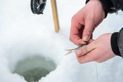 Appât vivant pour le fissh de brochet sur le crochet se trouvant en main, pêche de glace d'hiver Images stock