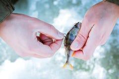 Appât vivant sur le crochet dans la main du pêcheur, pêche d'hiver image libre de droits