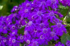 App Cineraria κήπος Μάλτα λουλουδιών SAN Anton Στοκ Φωτογραφίες