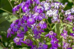 App Cineraria κήπος Μάλτα λουλουδιών SAN Anton Στοκ φωτογραφία με δικαίωμα ελεύθερης χρήσης
