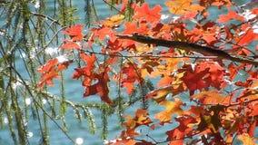 Appalachi Autumn Red Oak Leaves & Cedar Trees piangente verde sul lago WV top piana video d archivio