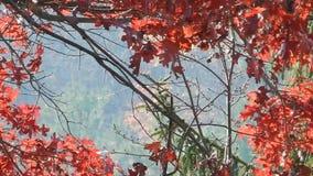 Appalachi Autumn Red Oak Leaves, cedro piangente verde sul lago WV top piana video d archivio