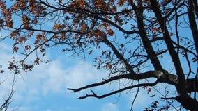 Appalachian Autumn Oak Leaves, blue sky on Flat Top Lake WV stock video footage