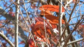 Appalachian Autumn Red Leaves, blue sky on Flat Top Lake WV stock video