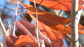 Appalachian Autumn Red Leaves, blue sky on Flat Top Lake WV stock video footage