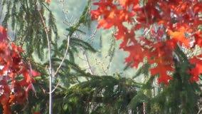 Appalachian Autumn Red Oak Leaves & Green Weeping Cedar Trees stock footage