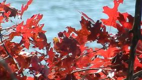 Appalachian Autumn Red Oak Leaves, moving water on Flat Top Lake WV stock video footage