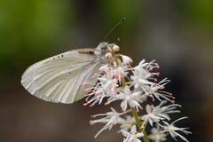 Appalachian Azure Butterfly em um Wildflower imagem de stock