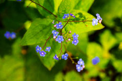 Appalachian Bluet - Houstonia-serpyllifolia stockbilder