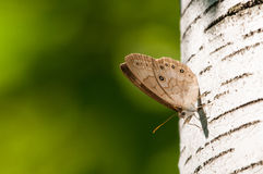 Appalachian Brown Butterfly. Perched on a Birch Tree stock image