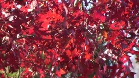 Appalachian Fall Oak Tree leaves wind. Red oak leaves, green weeping cedar blowing stock video footage