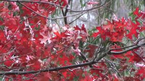 Appalachian Fall Oak Tree leaves wind, snow, red, green. Dynamic backgrounds, themes, wallpaper. Organic Phart all natural, no GMO. Winter, Summer, Fall, Spring stock video footage
