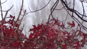 Appalachian Fall Oak Tree leaves wind, snow, red, green. Dynamic backgrounds, themes, wallpaper. Organic Phart all natural, no GMO. Winter, Summer, Fall, Spring stock footage