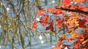 Appalachian jesień Czerwonego dębu liście, Płaczący cedr na Płaski Wierzchołek jeziorze WV zbiory