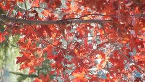Appalachian jesień Czerwonego dębu liście, Zielony Płaczący cedr na Płaski Wierzchołek jeziorze WV zbiory