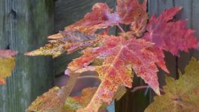 Appalachian spadków drzew liście meandrują, śnieg, czerwień, złoto zbiory
