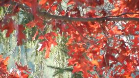 Appalachian spadku Czerwonego dębu liście, Płaczący cedr na Płaski Wierzchołek jeziorze WV zbiory