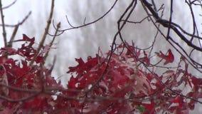 Appalachian spadku Dębowego drzewa liście meandrują, śnieg, czerwień, zieleń zbiory