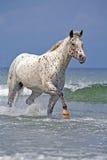 Appaloosa που τρέχει στην ωκεάνια κυματωγή Στοκ φωτογραφία με δικαίωμα ελεύθερης χρήσης