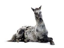 άλογο appaloosa Στοκ εικόνες με δικαίωμα ελεύθερης χρήσης