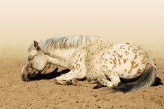 APPALOOSA Royalty Free Stock Image