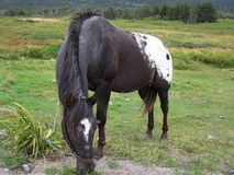 Appaloosa Stock Image