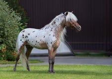 Appaloosa American miniature horse standing on green grass. Stock Photo
