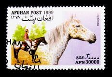 Appaloosa (caballus) di ferus di equus, serie dei cavalli, circa 1999 Fotografia Stock