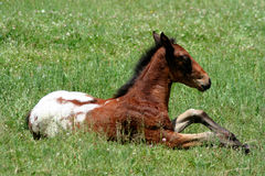Appaloosa Colt. Resting Stock Images